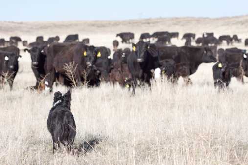Sagebrush「Dog and Cattle on Open Range」:スマホ壁紙(9)