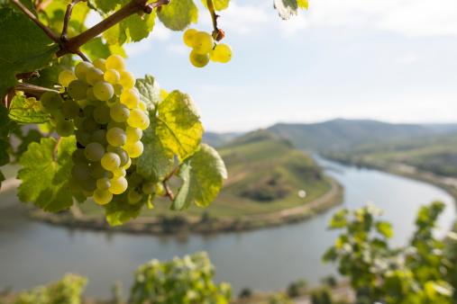 Grape「Grape, Moselle Loop, Mosel, Moselschleife, Bremm, Germany.」:スマホ壁紙(4)