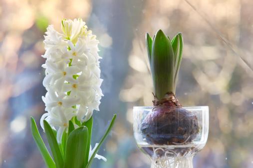 Plant Bulb「Blossoms and bulbs」:スマホ壁紙(19)