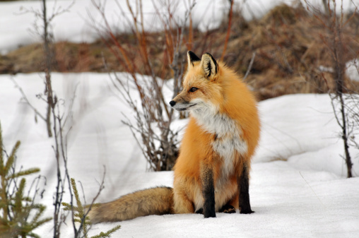 Red Fox「Red fox (Vulpes Vulpes) in the Rocky Mountains.」:スマホ壁紙(9)