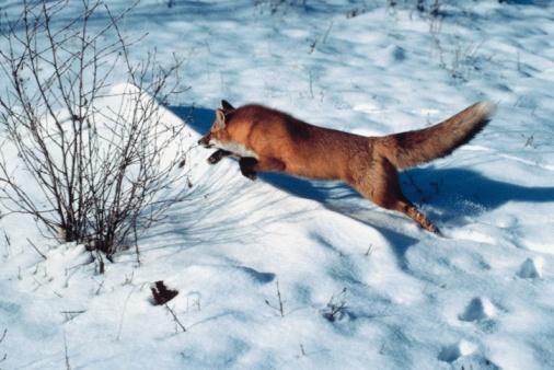Pouncing「Red fox in snow」:スマホ壁紙(16)