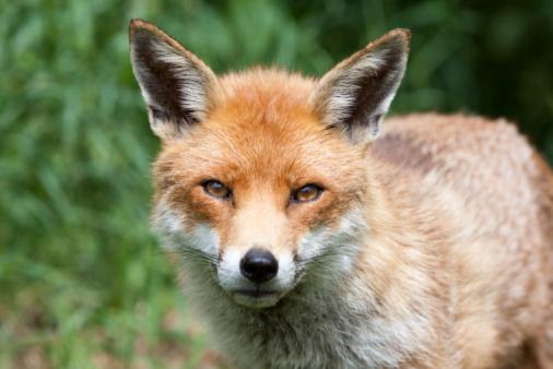 Fox「Red Fox in Surrey, South East England」:スマホ壁紙(7)