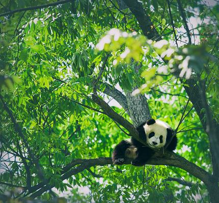 パンダ「赤ちゃんパンダで休んでツリー」:スマホ壁紙(3)