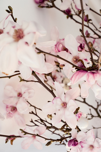 Inflorescence「Twigs of pink magnolia」:スマホ壁紙(2)