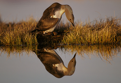 Arctic National Wildlife Refuge「Red-throated loon (Gavia stellata) atop eggs in nest beside pond」:スマホ壁紙(11)