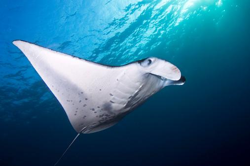 Manta「Coastal Manta Ray (manta alfredi), Hawaii, America, USA」:スマホ壁紙(12)