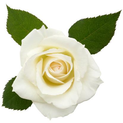 薔薇「ホワイトローズ/クリッピングパス」:スマホ壁紙(18)