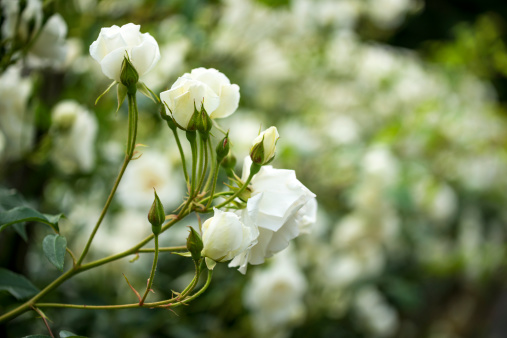 薔薇「Withe バラ・ブッシュのクローズアップ」:スマホ壁紙(19)