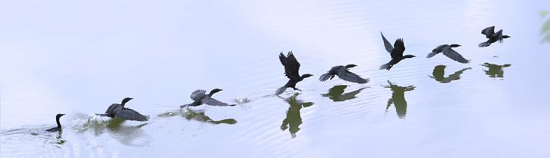 Multiple Exposure「Cormorant Taking Off From Lake」:スマホ壁紙(7)