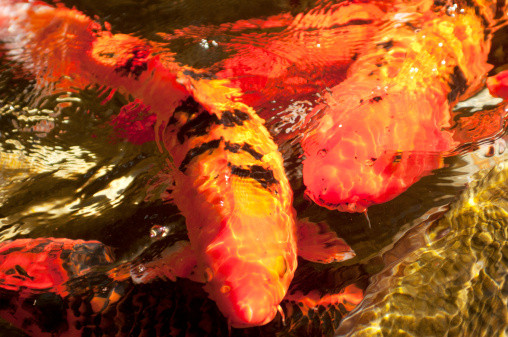 Carp「USA, Hawaii, Japanese carps swimming in pond」:スマホ壁紙(12)