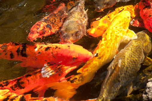 Carp「USA, Hawaii, Japanese carps swimming in pond」:スマホ壁紙(6)