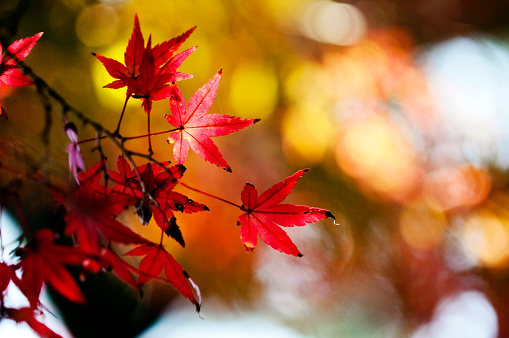 Japanese Maple「Maple trees in autumn」:スマホ壁紙(9)
