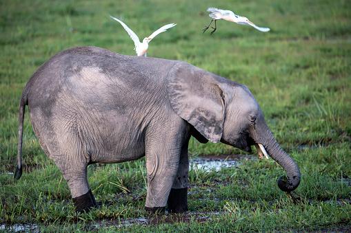 Elephant「Elephant calf grazing in swamp in Amboseli National Park, Kenya」:スマホ壁紙(6)