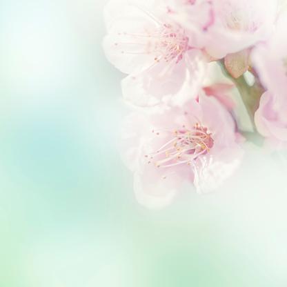Selective Focus「桜」:スマホ壁紙(15)
