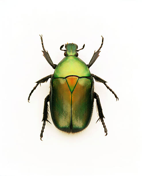 Green june beetle:スマホ壁紙(壁紙.com)