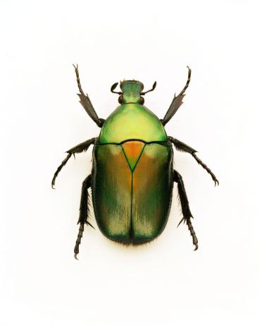 イエローキャブ「Green june beetle」:スマホ壁紙(13)