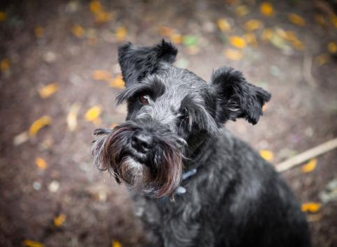 Schnauzer「Mini Schnauzer Dog Portrait」:スマホ壁紙(6)