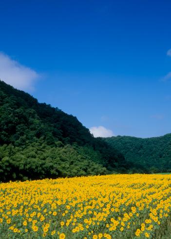 ひまわり「Kimita Sunflower Field, Miyoshi, Hiroshima, Japan」:スマホ壁紙(12)