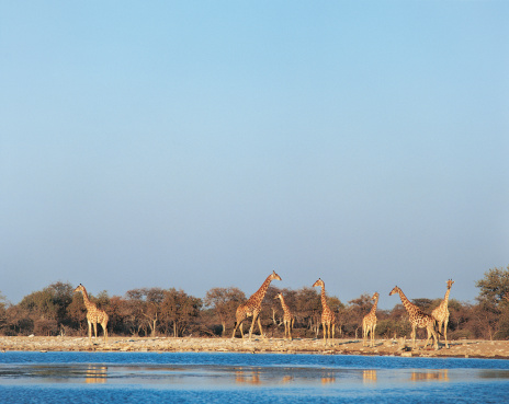 Giraffe「Group of Giraffes Standing by the Edge of a Waterhole」:スマホ壁紙(9)