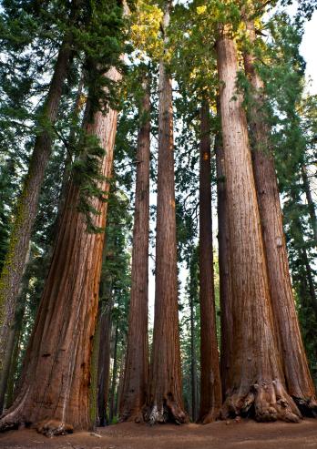 Sequoia Tree「Group of Giant Sequoias in National Park California USA」:スマホ壁紙(19)