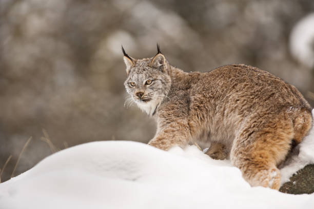 Canadian lynx is standing on the snowy ground and looking to the left.:スマホ壁紙(壁紙.com)