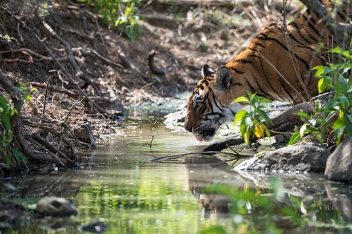 Rajasthan「Bengal tigress drinking from stream」:スマホ壁紙(6)
