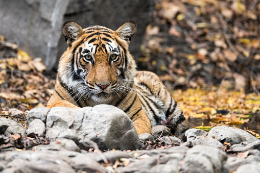 Rajasthan「Bengal tigress resting」:スマホ壁紙(2)