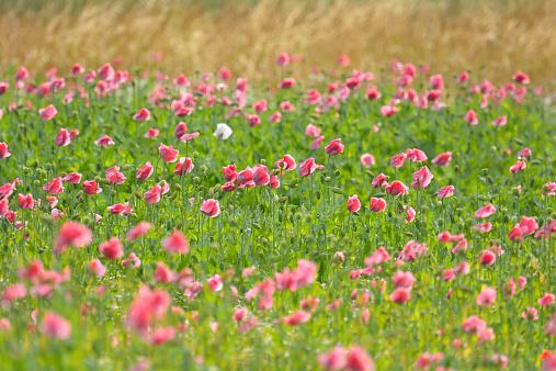 花畑「Opium Poppy Field」:スマホ壁紙(18)
