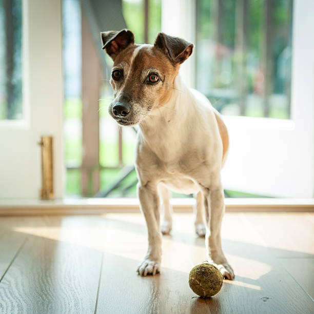 Dog with ball ready to go outside:スマホ壁紙(壁紙.com)