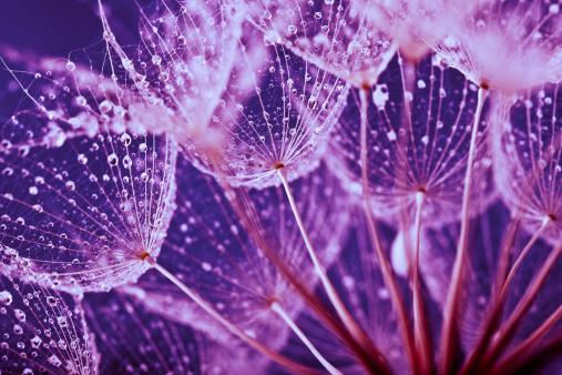 たんぽぽ「マクロ抽象の雨滴でタンポポの種子」:スマホ壁紙(16)