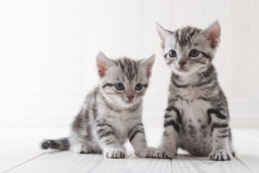 ショートヘア種の猫「Two American shorthair sitting」:スマホ壁紙(19)