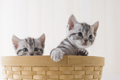 子猫「Two American shorthair in a basket」:スマホ壁紙(3)
