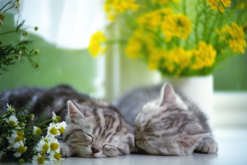 Kitten「Two American Shorthair Cats Sleeping on a White Floor, Surrounded By Flowers, Front View, Differential Focus」:スマホ壁紙(11)