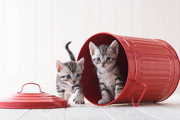 Two American shorthair playing in a bucket:スマホ壁紙(壁紙.com)