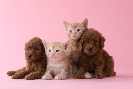 Kitten「Two American Shorthair Kittens and Two Toy Poodle Puppies」:スマホ壁紙(2)