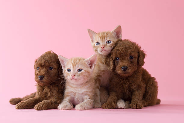 Two American Shorthair Kittens and Two Toy Poodle Puppies:スマホ壁紙(壁紙.com)