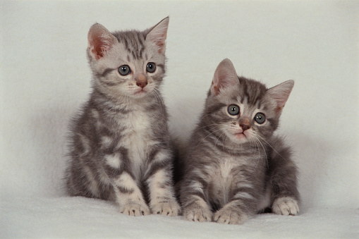 子猫「Two American Shorthair Kittens」:スマホ壁紙(0)
