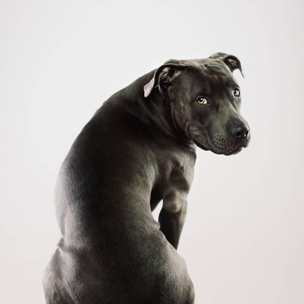 Big pit bull dog sitting portrait:スマホ壁紙(壁紙.com)