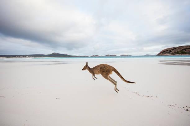 Kangaroo jumping on beach, Lucky Bay, Esperance, Western Australia, Australia:スマホ壁紙(壁紙.com)