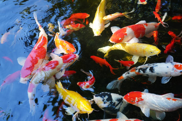 Brocade carp:スマホ壁紙(壁紙.com)