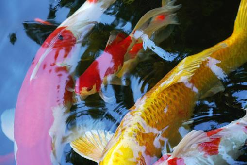 Carp「Brocade carp」:スマホ壁紙(1)