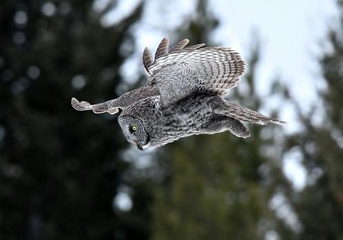 Animals Hunting「Great Gray Owl」:スマホ壁紙(0)