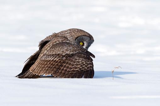 自然美「大きな灰色のフクロウ、strix カメノコハムシ、希少な鳥」:スマホ壁紙(18)