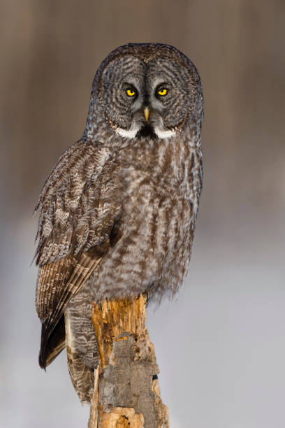 Great gray owl, strix nebulosa, rare bird, perching:スマホ壁紙(壁紙.com)