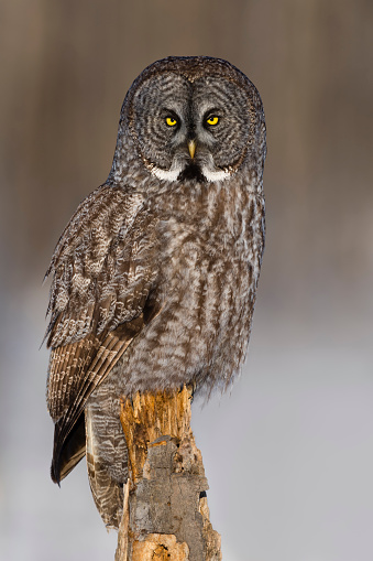 Animals Hunting「Great gray owl, strix nebulosa, rare bird, perching」:スマホ壁紙(4)