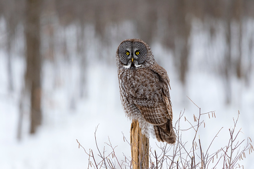 Wooden Post「Great gray owl, strix nebulosa, rare bird, perching」:スマホ壁紙(7)