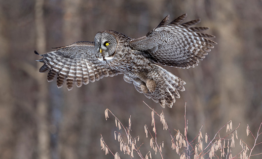 Animal Wing「Great gray owl, strix nebulosa, rare bird in flight」:スマホ壁紙(16)