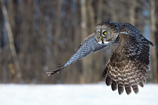 Animals Hunting「Great gray owl, strix nebulosa, rare bird in flight」:スマホ壁紙(15)
