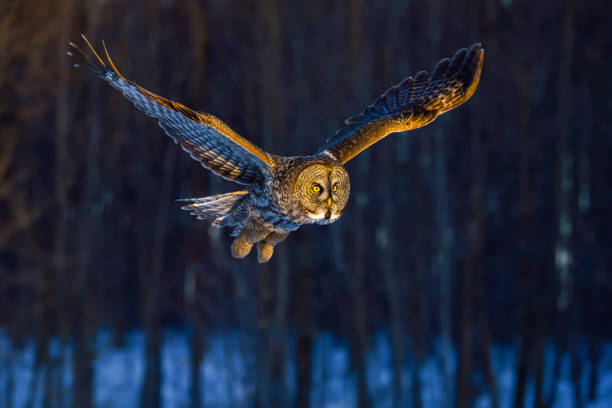Great gray owl, strix nebulosa, rare bird in flight:スマホ壁紙(壁紙.com)