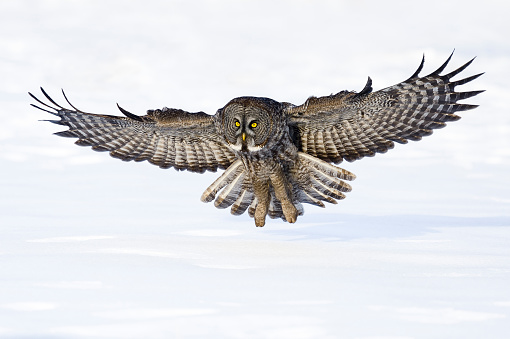 Animal Wing「Great gray owl, strix nebulosa, rare bird in flight」:スマホ壁紙(18)